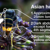 Asian hornet week - watch out for Asian hornets and report sightings to stop this serious threat to our bees